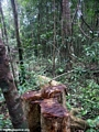Tree felled (illegal logging) in Masoala National Park, Madagascar (Masoala NP)