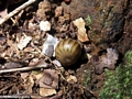 Green pill millipede rolled in ball (Masoala NP)