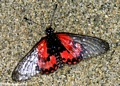 Red clear-wing butterfly (Nymphalidae: Acraea lia)