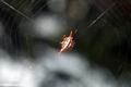 Thorn spider (gasteracanthinae sub-family) (Masoala NP)