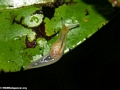 Translucent rainforest slug (Masoala NP)