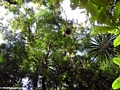 Tree ferns and bromeliads of the Masoala rainforest (Masoala NP)