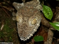 Uroplatus fimbriatus; close head shot from above