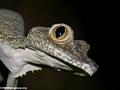 Uroplatus fimbriatus - dialated pupil