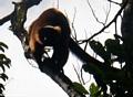 Red ruffed lemur (Varecia variegata rubra) (Masoala NP)