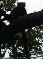 Varecia variegata rubra lemur (Masoala NP)
