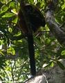 Varecia variegata rubra lemur in Masoala NP (Masoala NP)
