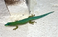 Phelsuma day gecko in Morondava