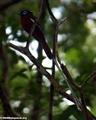 Madagascar Paradise-Flycatcher (Nosy Mangabe)