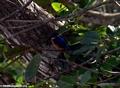 Malagasy Kingfisher (Nosy Mangabe)