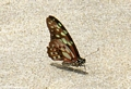 Butterfly on beach (Nosy Mangabe)