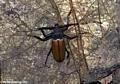 Longhorn Beetle (Cerambycidae) (Nosy Mangabe)
