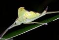 Leaf insect (Nosy Mangabe)