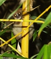 Brown mouse lemur (Nosy Mangabe)