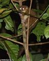 Microcebus rufus lemur (Nosy Mangabe)