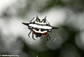 Black and white thorn spider (Nosy Mangabe)