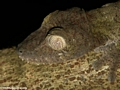 Uroplatus fimbriatus leaf-tailed gecko