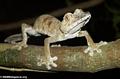 Uroplatus fimbriatus gecko on Nosy Mangabe (Nosy Mangabe)