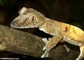 Uroplatus fimbriatus gecko on Nosy Mangabe