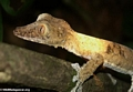 Uroplatus fimbriatus gecko on Nosy Mangabe [uroplatus_fimbriatus-0148]