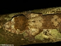Uroplatus fimbriatus gecko on Nosy Mangabe [uroplatus_fimbriatus-210]