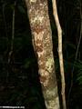 Uroplatus fimbriatus gecko on Nosy Mangabe [uroplatus_fimbriatus-212]