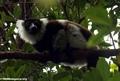 White ruffed lemur (Nosy Mangabe)