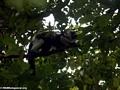 White ruffed lemur (Varecia variegata variegata) (Nosy Mangabe)