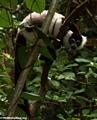 Varecia variegata variegata