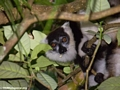 White ruffed lemur feeding on tamarind (Nosy Mangabe)