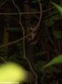 Eastern woolley lemur (Nosy Mangabe)