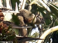 Brown Lemur (Andasibe)