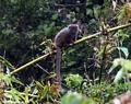 Grey Bamboo Lemur (Andasibe) [grey_bamboo_lemur0051]