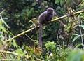 Grey Bamboo Lemur (Andasibe) [grey_bamboo_lemur0052]