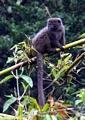 Grey Bamboo Lemur (Andasibe)