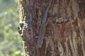 Phelsuma mutabilis (Lake Antafoky / Sept Lacs )